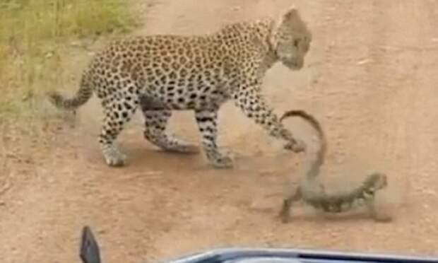 Битва в саванне: молодой леопард против варана Замбия, африка, битва животных, животные, леопард, сафари парк, уникальное видео, ящерица