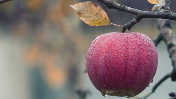 В Молдове фермеры выбрасывают яблоки