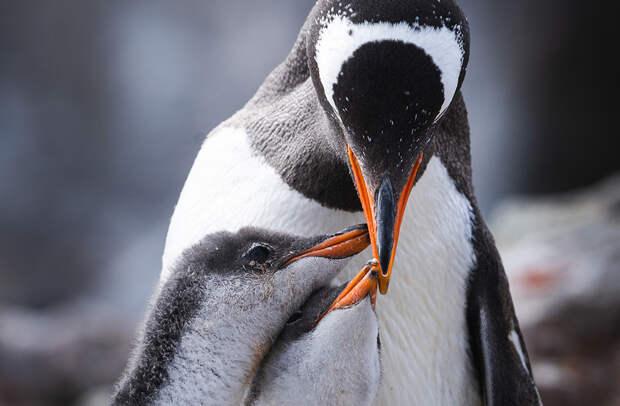 Папуанский пингвин кормит птенцов
