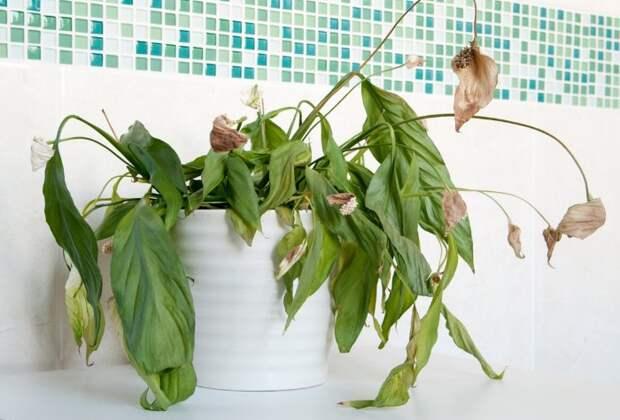 Пора пересмотреть комнатный цветник, или Какие растения вредят людям и животным