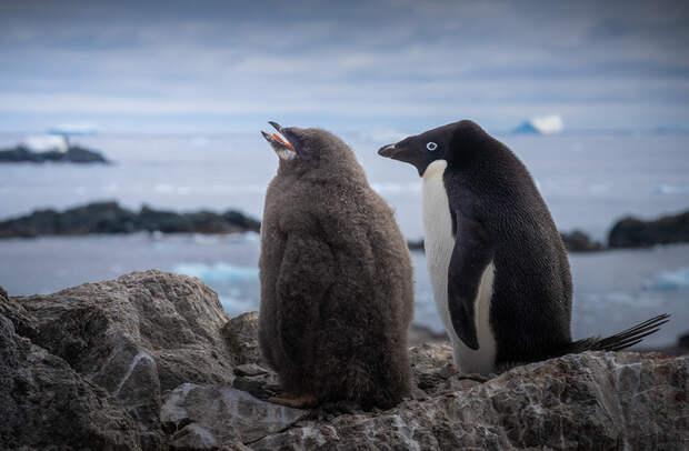 Большой и маленький. Пингвин Адели с птенцом. Детеныш уже почти перерос свою маму!