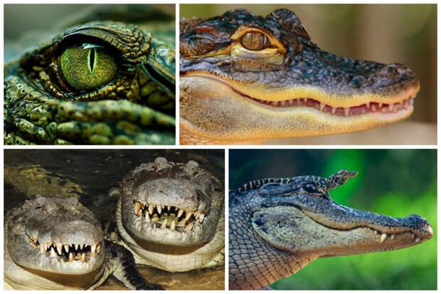 Часто крокодилы лежат подолгу с открытой пастью — так они охлаждаются. аллигатор, интересное, крокодил, природа, факты, фауна