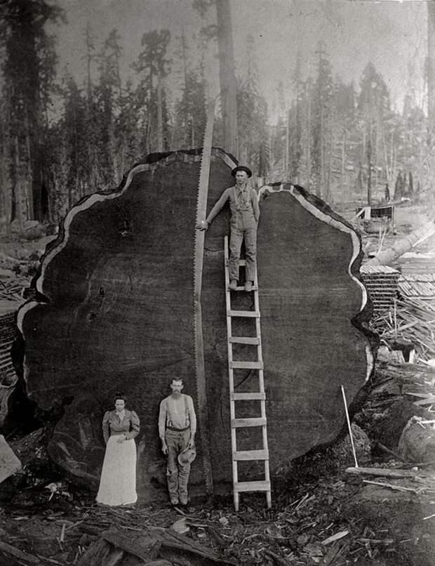Лесорубы на фоне дерева Марк Твен, срубленного в Калифорнии, 1892 год.