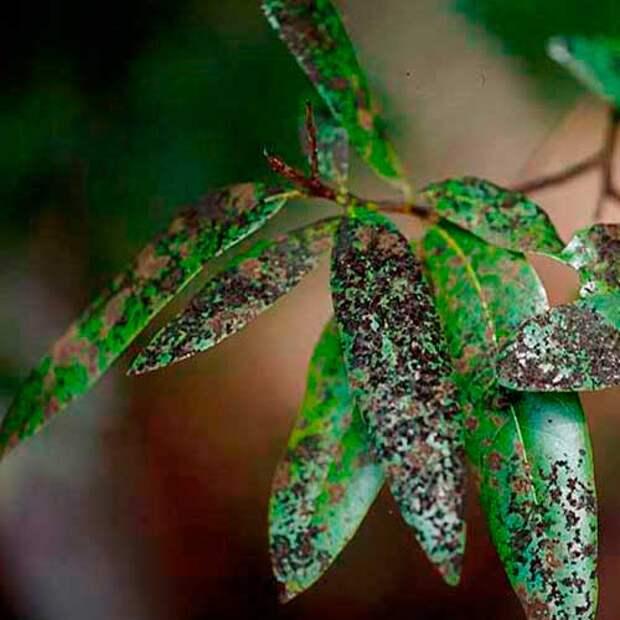 Болезнь комнатных растений Чернь
