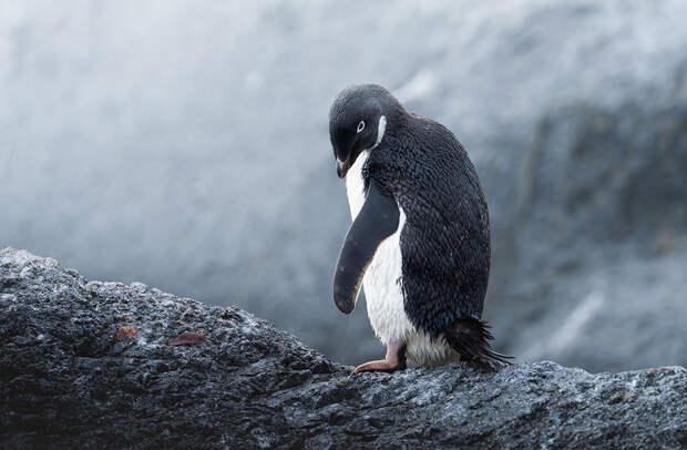 Пингвин Адели. С марта по октябрь пингвин Адели кочует в океане, удаляясь от гнездовий на 600–700 км