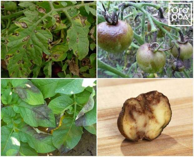 Фитофтора на помидорах и картофеле