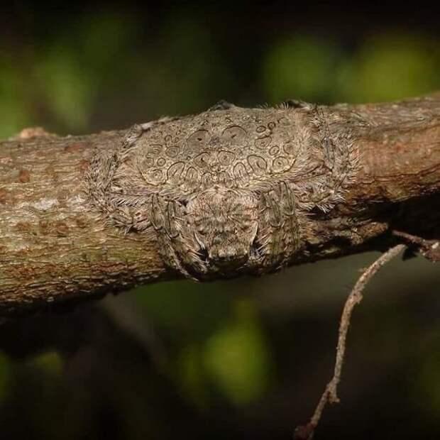 1. Dolophones conifera - паук, способный для маскировки расстилать свое тело по дереву животные, мир, подборка, природа, ужас, фото, явление