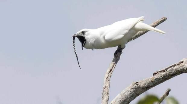 Оглушительный голосок: крохотная птичка поет неожиданно громко
