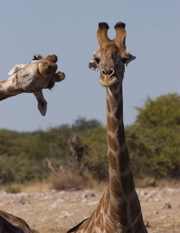 10 фото очень эмоциональных животных, напоминающих людей или героев мультиков