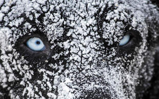 Одна из сложнейших гонок на собачьих упряжках в мире — «Большая Одиссея» (La Grande Odyssee)