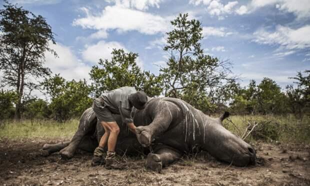 Зачем носорогов перевозят вверх ногами?