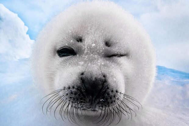 Тюленёнок из Канады