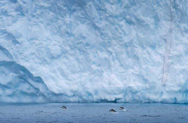 Прыжки пингвинов на фоне ледника