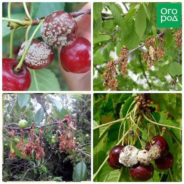 Сорта вишни, устойчивые к монилиозу