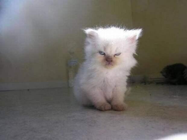 Сердитые котейки
