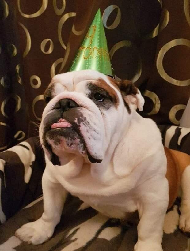 Бульдог, который умеет делать губы бантиком бульдог, губки бантиком, домашние любимцы, животные, забавно, необычный пес, смешное фото, собаки