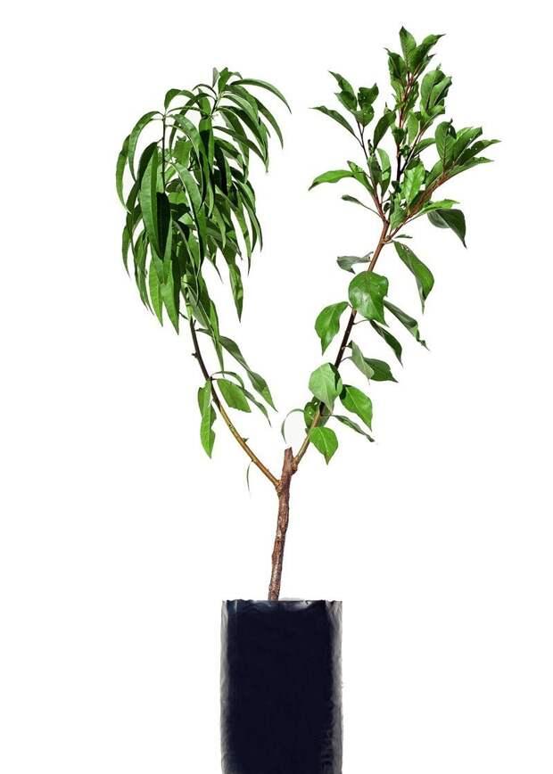 Конечно эти деревья требуют особого ухода, однако садоводы отмечают, что они более выносливые и морозоустойчивые Фабрика идей, дерево-сад, интересное, растения, садоводство, факты