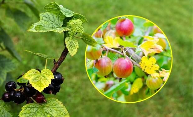 Из-за чего желтеют листья у смородины и крыжовника?