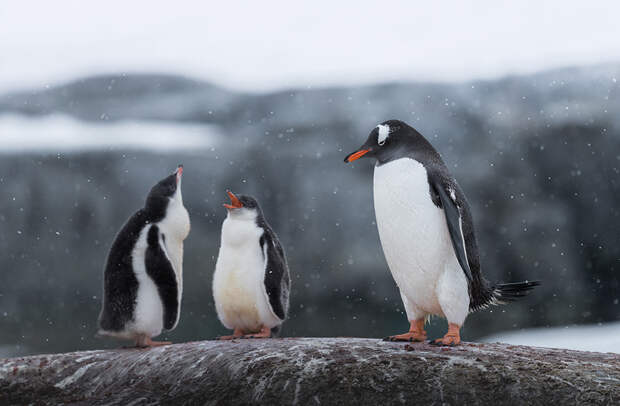 Семейство субантарктических пингвинов. Их колонии могут насчитывать от нескольких десятков до многих тысяч пар