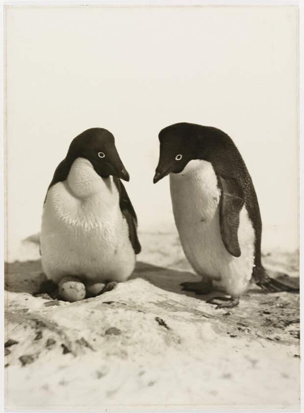 Первая Австралийская антарктическая экспедиция в фотографиях Фрэнка Хёрли 1911-1914 7
