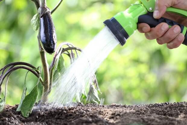 6 секретов хорошего урожая баклажанов