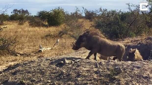 Хорошо замаскировавшемуся леопарду удалось добыть для себя детёныша бородавочника бородавочник, видео, добыча, животные, леопард, природа