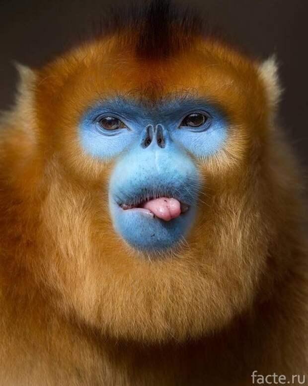 обезьяна с языком