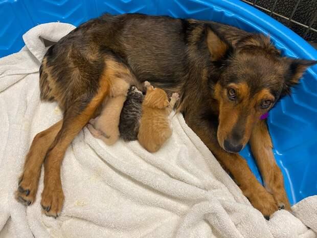 Собака стала мамой трем очаровательным котятам. Они заменили ей собственных щенков