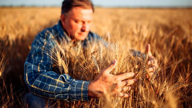 Пшеница дорожает. Зерно – ещё одна нефть России