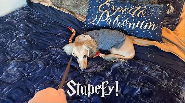Остолбеней (окаменей) (Stupefy) - оглушающее заклинание. Противник ненадолго ввергается в шок и не в состоянии что-либо предпринять Дрессированная собака, гарри поттер, дрессировка, забавное видео, заклинания, собаки, трюки, хозяин и пес