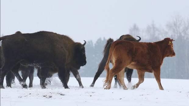 Смелая корова-авантюристка сбежала от людей к могучим зубрам и очень счастлива