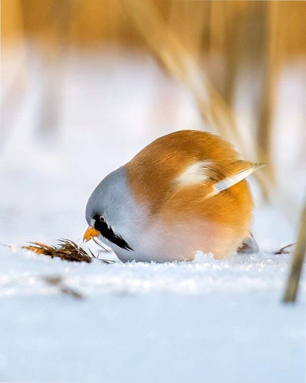 как выглядят птички Angry Birds в реальной жизни 4