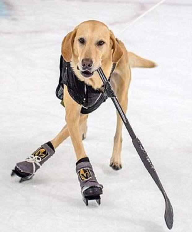 Собака играет в хокей