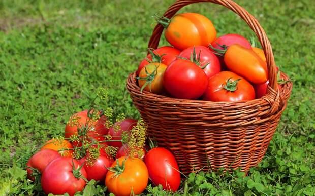 Удвоим урожай томатов. 5 актуальных способов