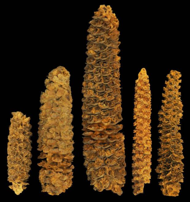 Сохранившаяся кукуруза из скального убежища Эль Гиганте в горах Гондураса. \ Фото: terrarara.com.br.