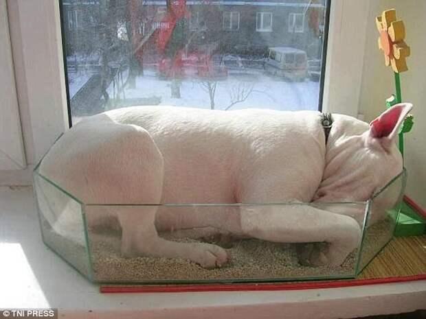 Когда зимой снится дача... животные, мило, собаки, фото