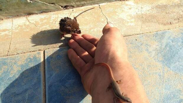 В бассейне из последних сил за жизнь цеплялись маленькая мышка и ящерица