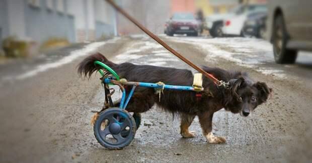 Счастливая Масяня! :) История собачки на колёсах, которая живёт в клинике и заряжает всех ДОБРОМ!