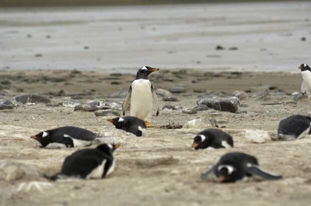 Мины спасают пингвинов отбраконьеров наФолклендских островах