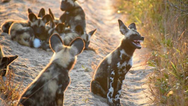 Гиена.  Самым крупным представителем является пятнистая гиена, которую можно встретить в большей части материка.  Гиены отличаются от других хищников агрессивностью и дерзостью, но в некоторых ситуациях проявляется их осторожность и трусость.
