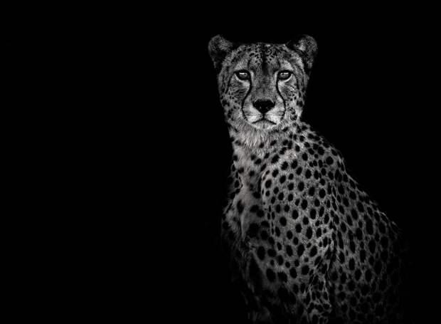 zhivotnye 11 Черно белые портреты диких животных