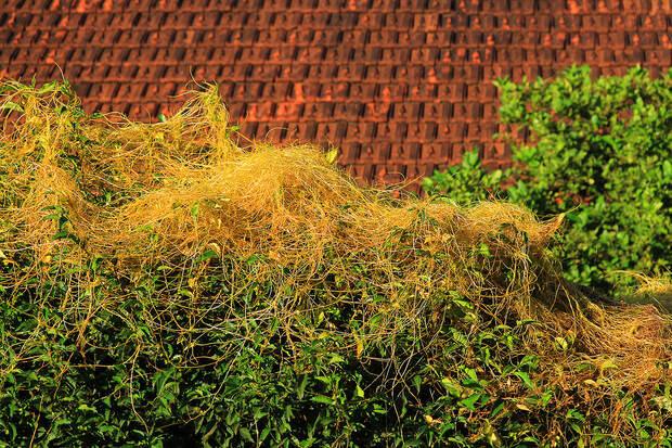 Фото №8 - 10 самых странных и страшных растений