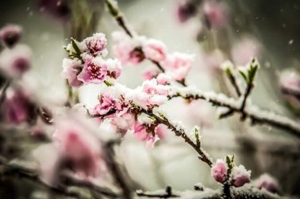 Заснеженные цветы