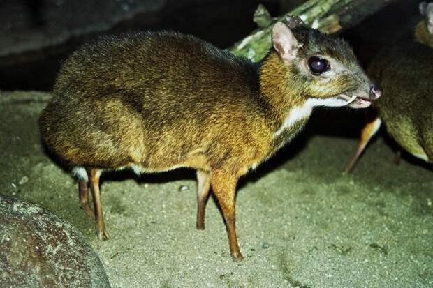 Javamousedeer10 Канчиль   удивительный олень малютка из тропиков