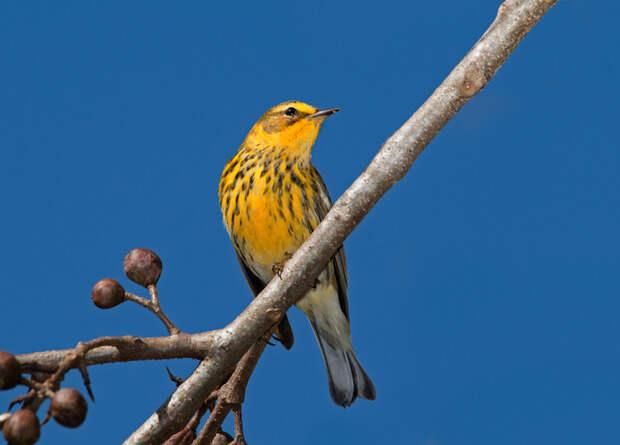 Разницу в частоте птичьего пения объяснили массой тела и родственными связями