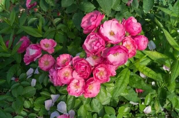 Какие лучше: корнесобственные розы или привитые?