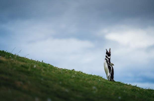 Зов пингвина с острова Магдалена (магелланский пингвин)
