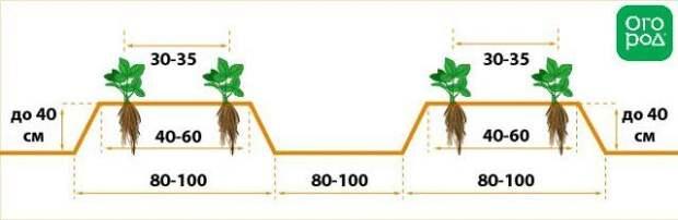 Схема посадки клубники Фриго в открытый грунт