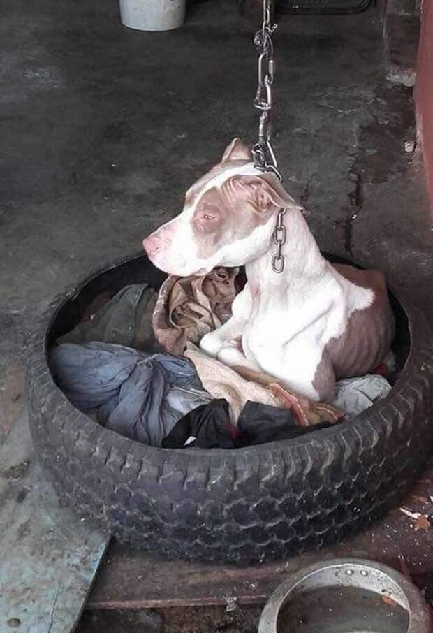 Ее много лет держали на цепи, такой короткой, что животное не могло лечь, опустив голову, или нормально дышать - ведь цепь перетягивала горло догхантеры, жестокое обращение с животными, история спасения, люди и звери, собака, собачий приют, спасение животного, спасение собаки