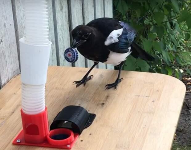 Умелец создал систему, которая побуждает птиц собирать крышки от бутылок в обмен на корм